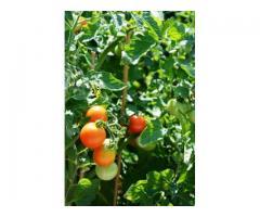 Praca przy pomidorach
